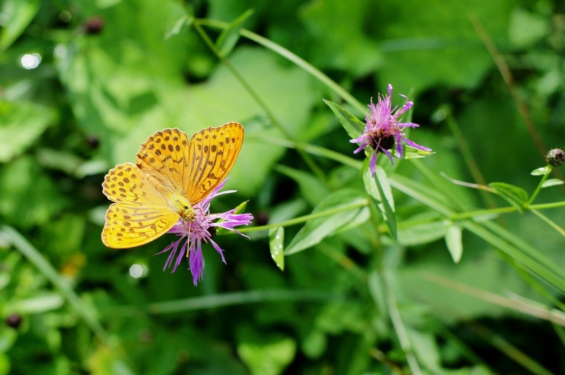 farfalla delle alpi orientali...