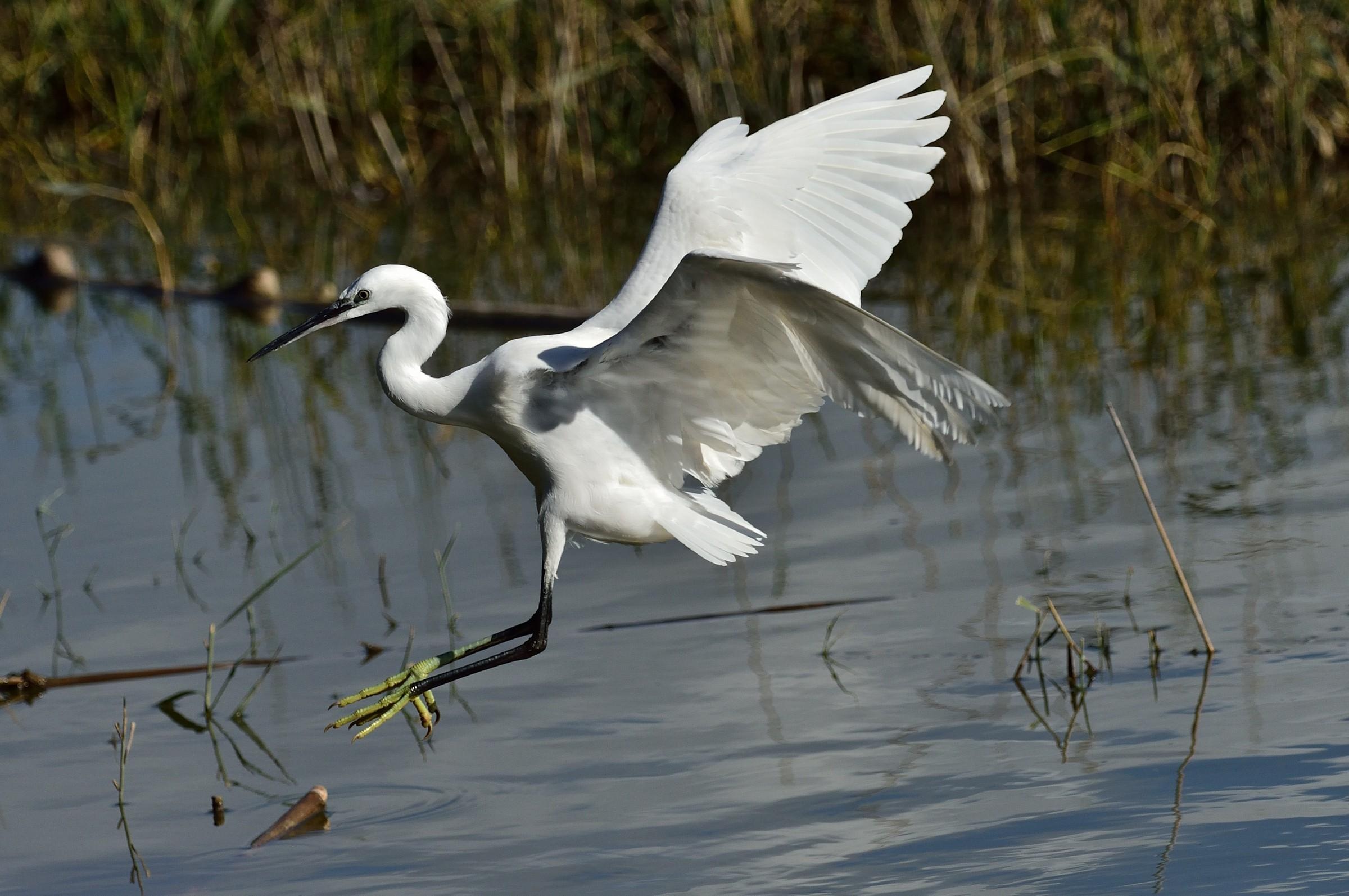 Egret in flight...