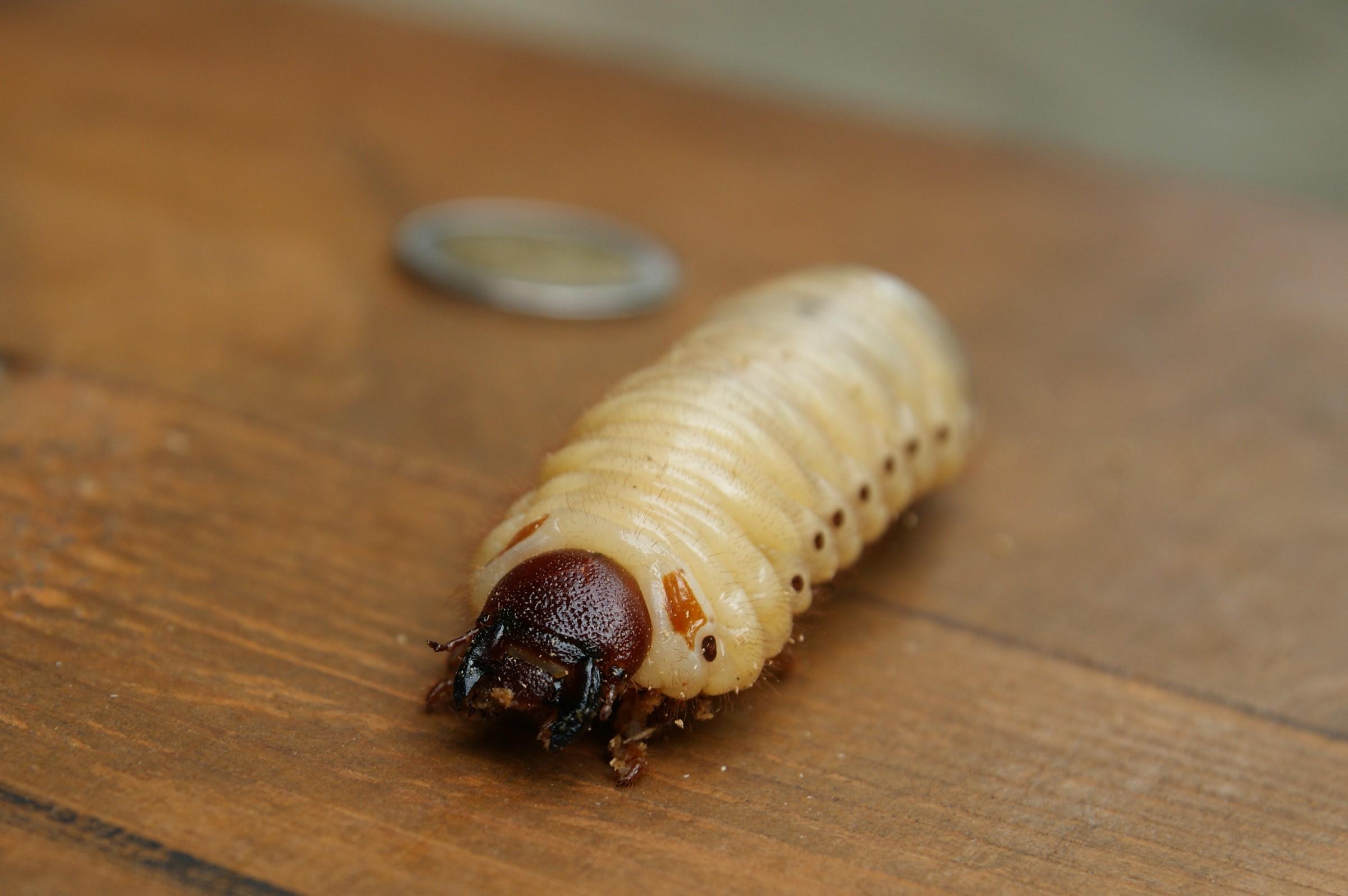 giant worm...
