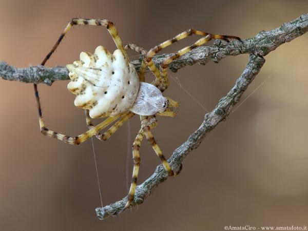 паук аргиопа лобата фото и описание садоводов