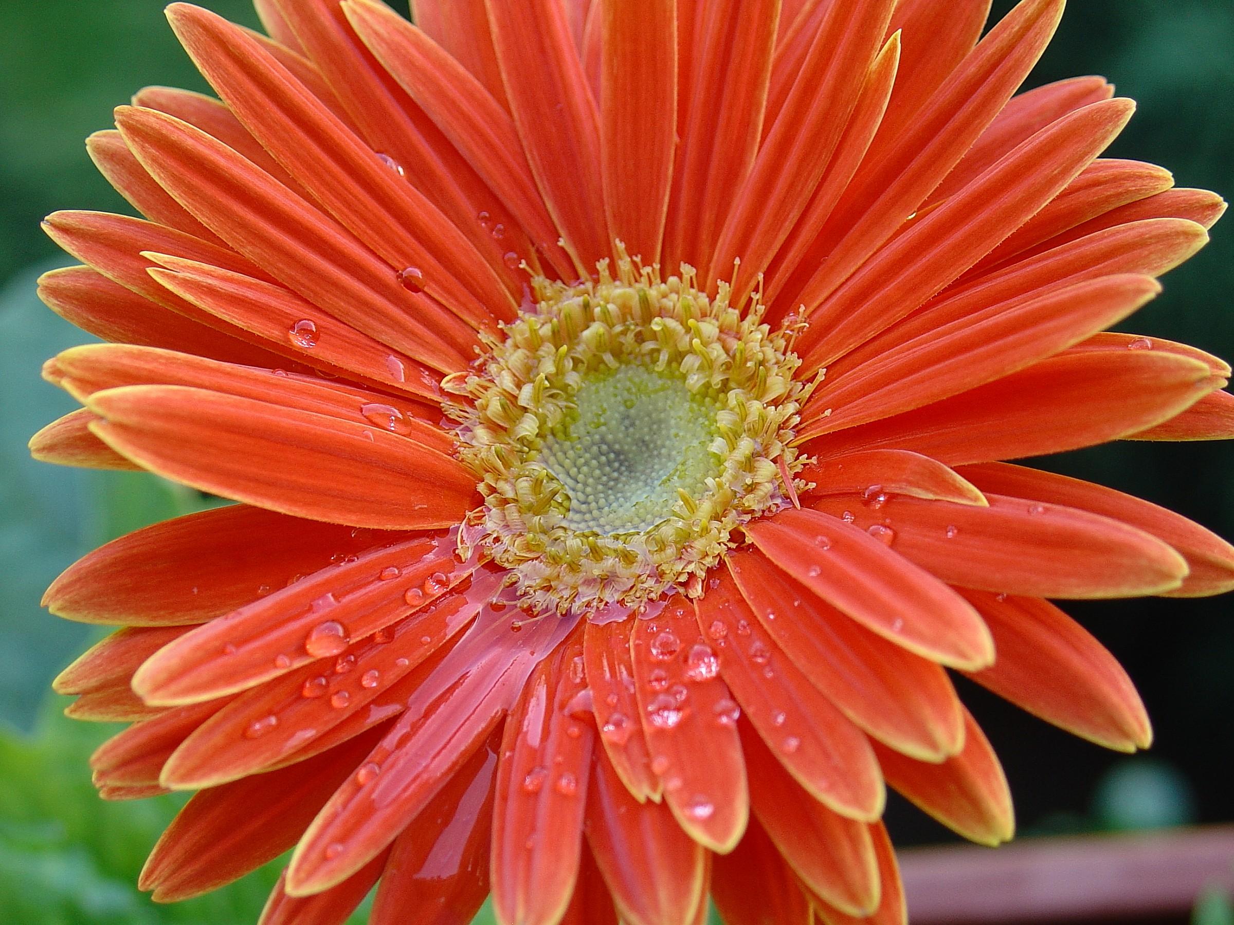 Gerbera arancione dopo la pioggia...