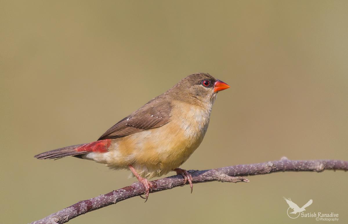 Beautiful lady,:Mrs. Strawberry Finch....