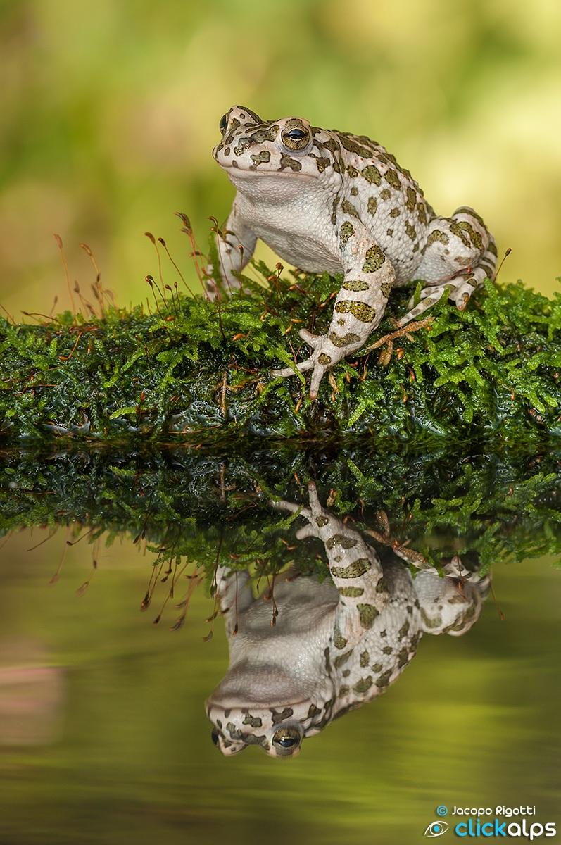 toad   bufotes viridis...