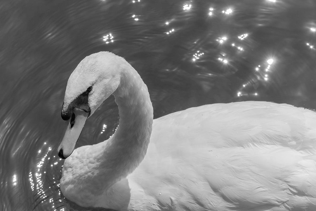 Swan in BN...