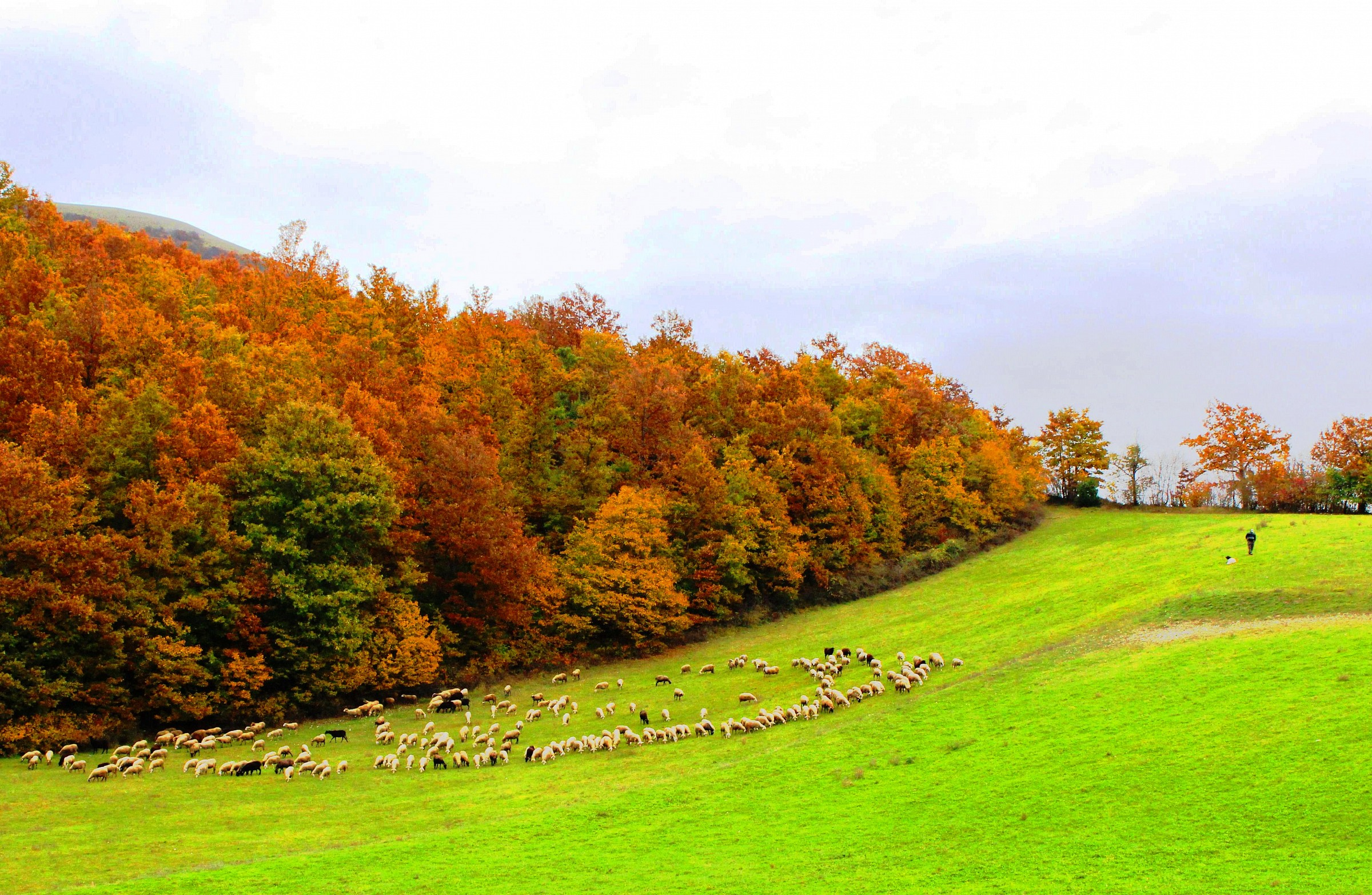Yellow leaves and sheep .........