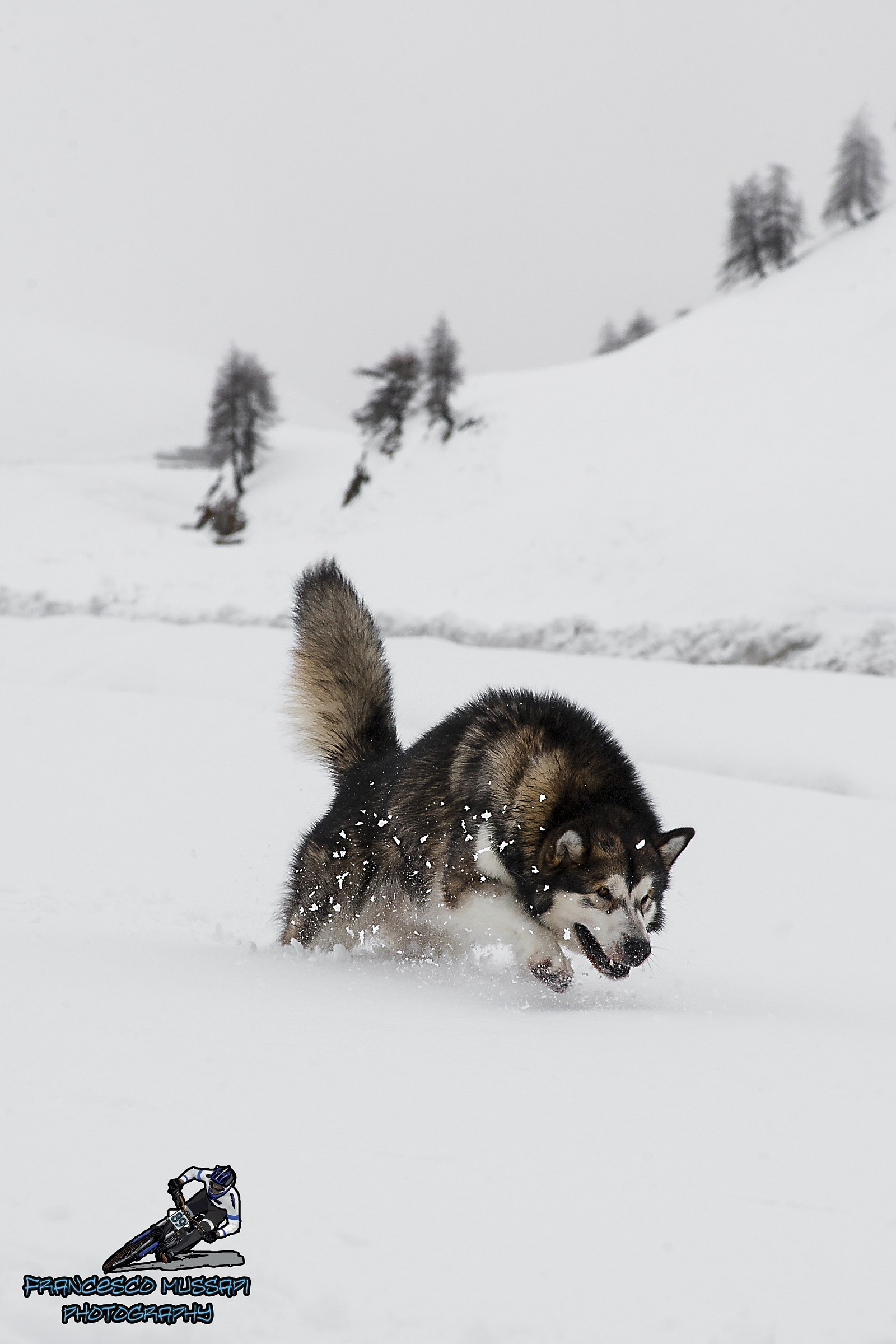 Alaskan Malamute in the Snow...