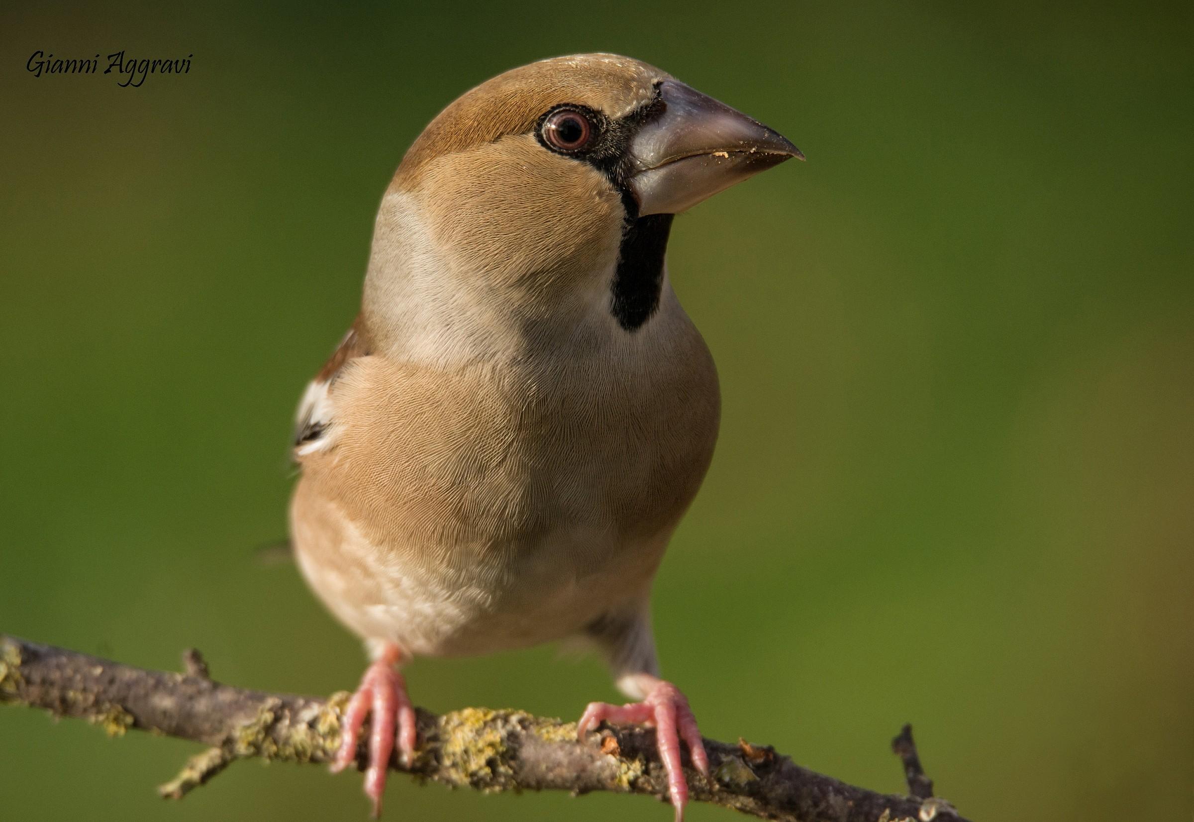 Grosbeak (female)...