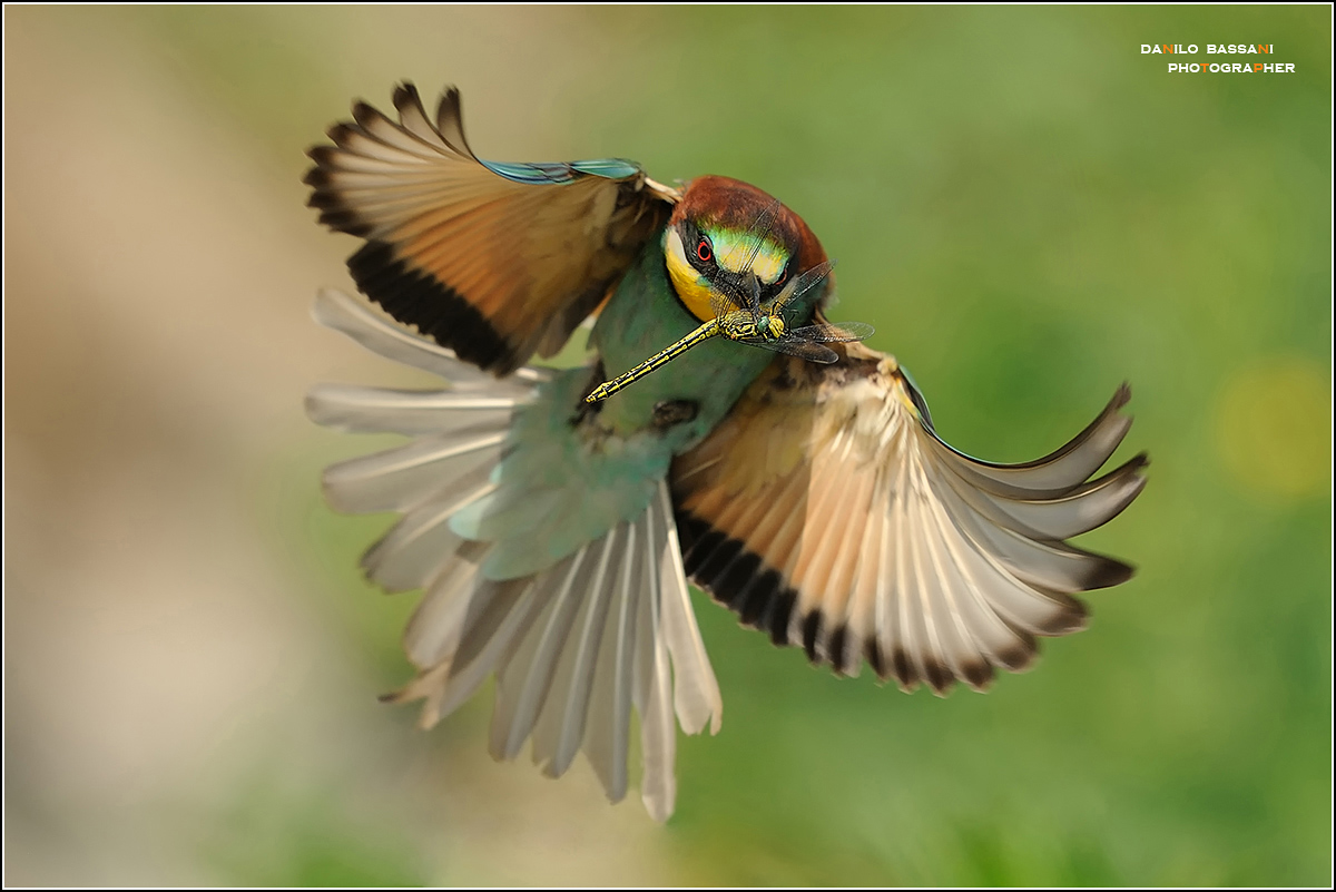 Bee-eater ... and dragonfly in flight...