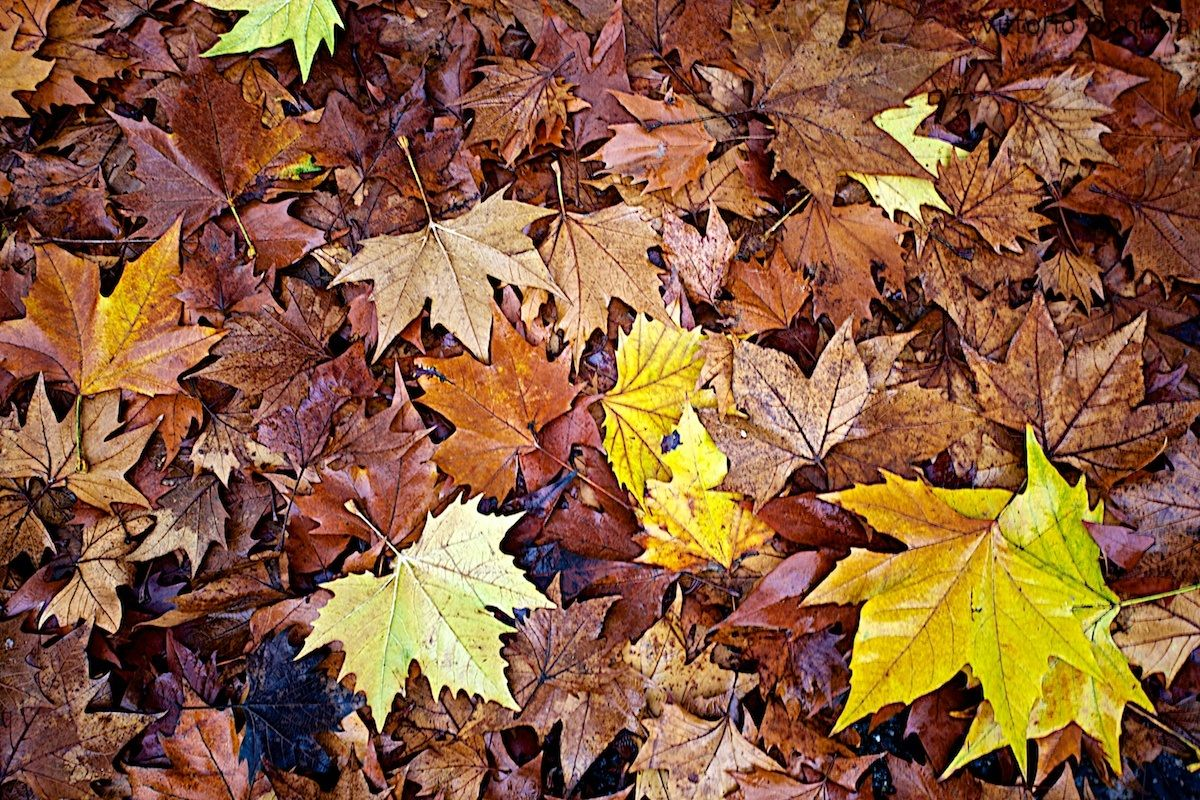 The End of Autumn Leaves...