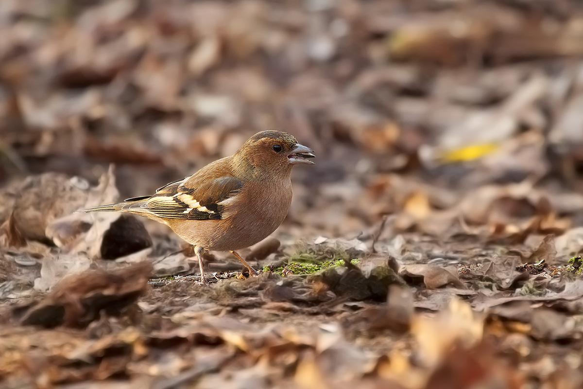 Chaffinch / Common Chaffinch (Fringilla coelebs)...