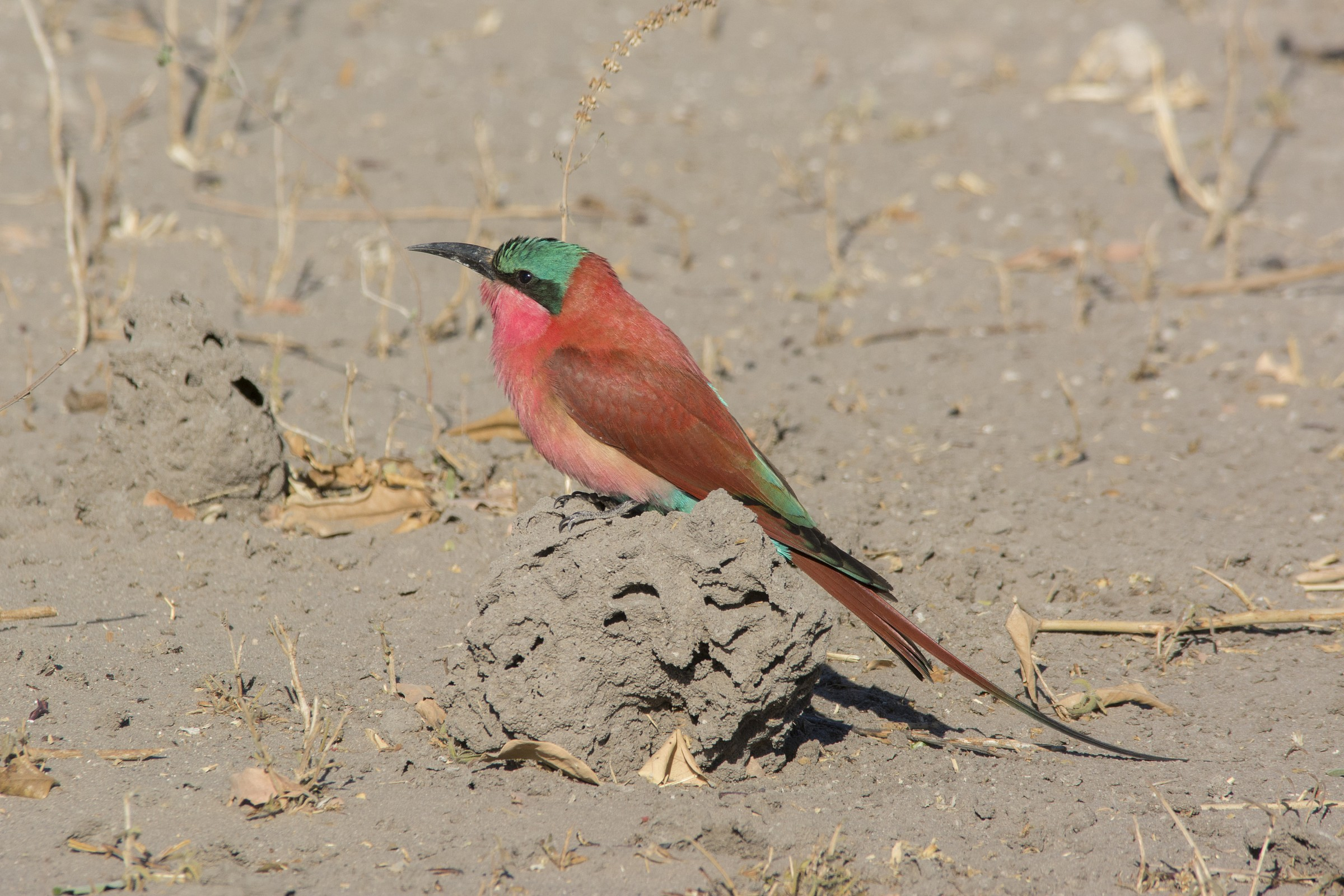 Southern Carmine Bee-Eater...