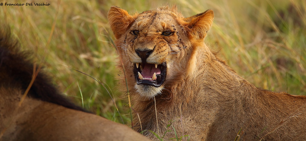 One of the sons of Blackie, lion 4km coalition...