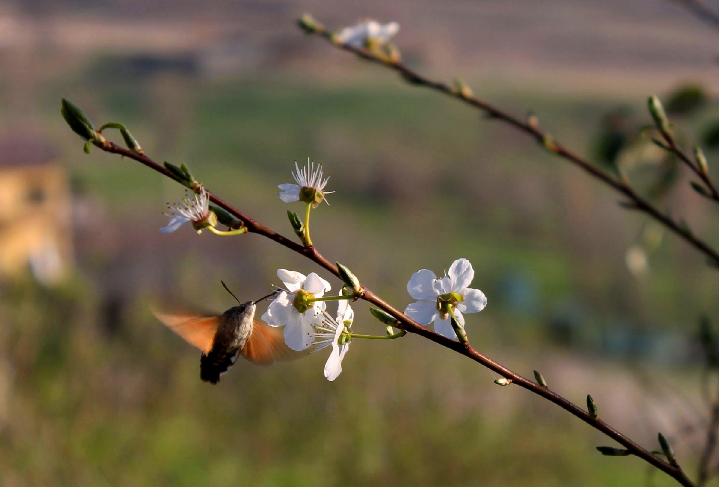 Hummingbird hawk-moth...