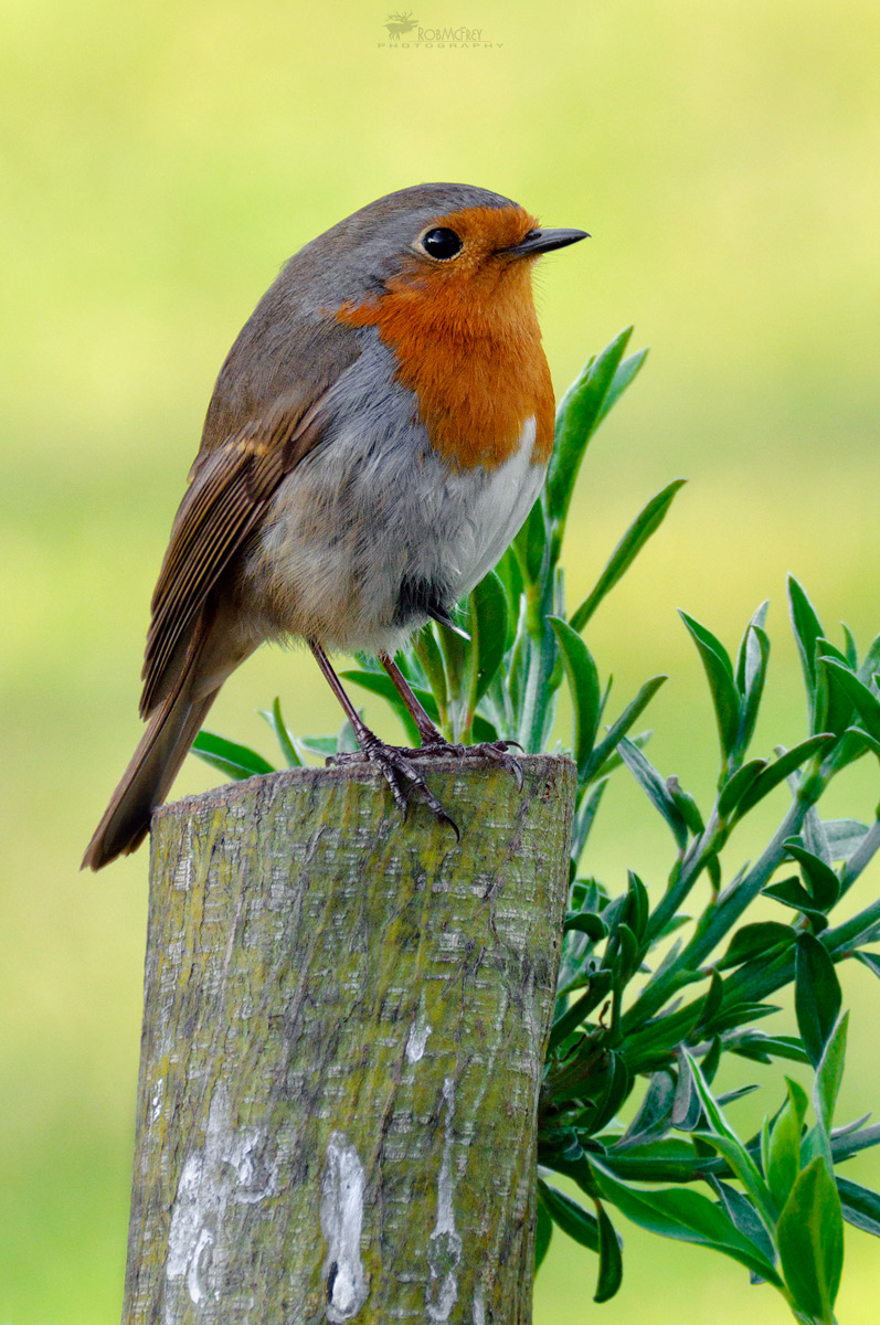 Erithacus rubecula - Robin...