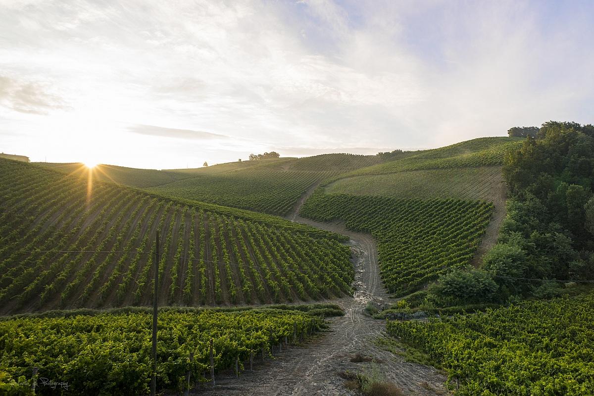 Golden vineyards...