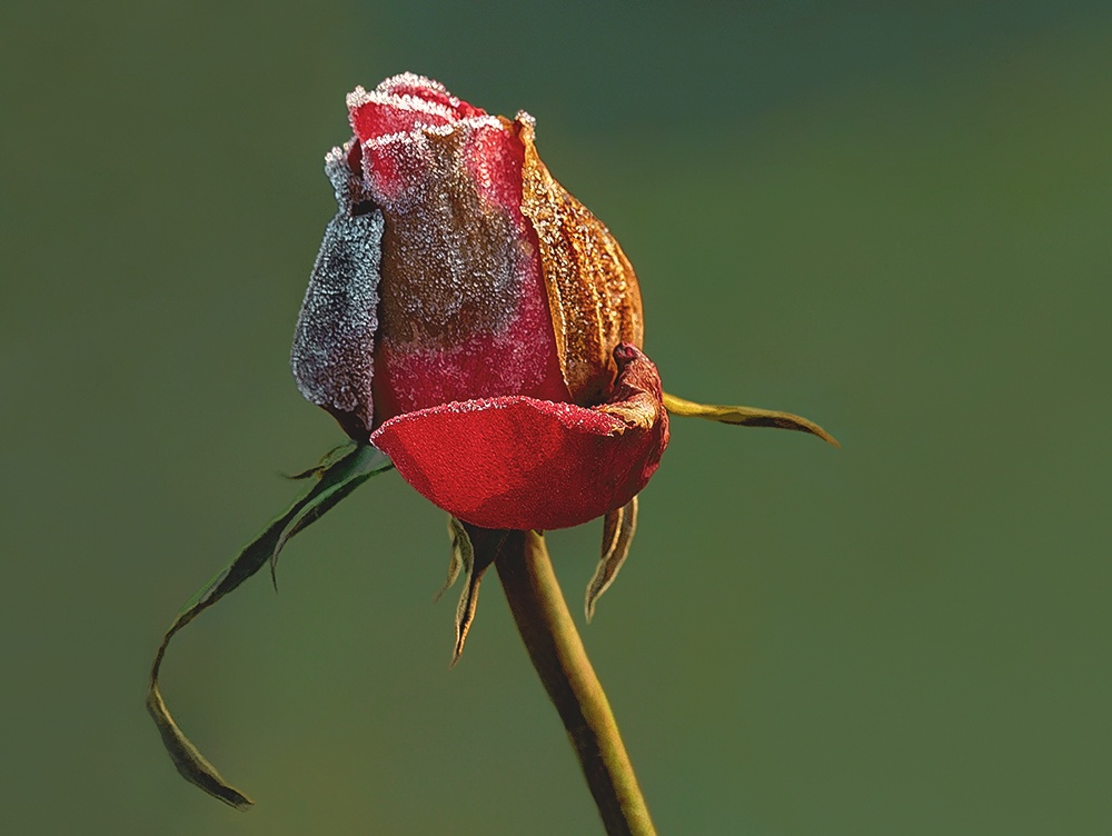 The small red rose...