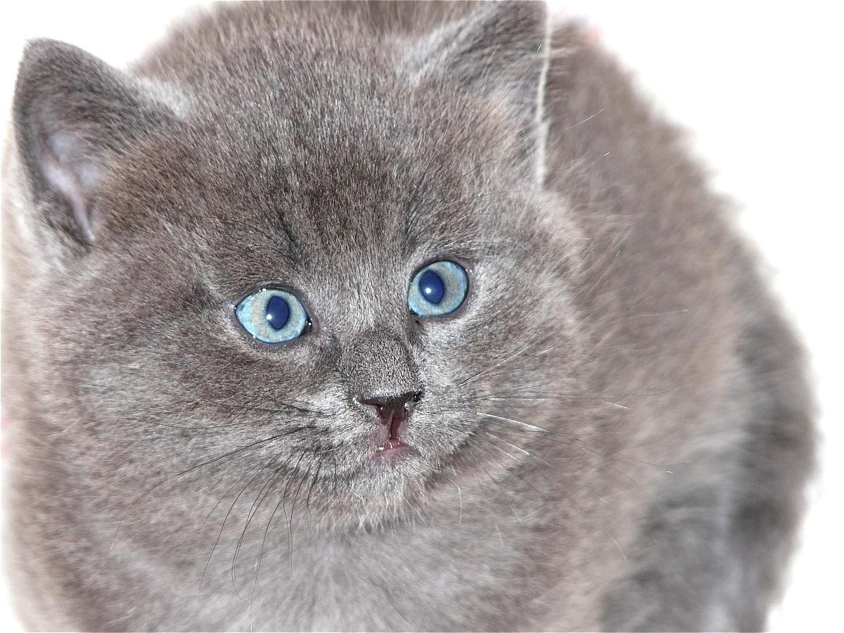 gatto grigio chiaro...