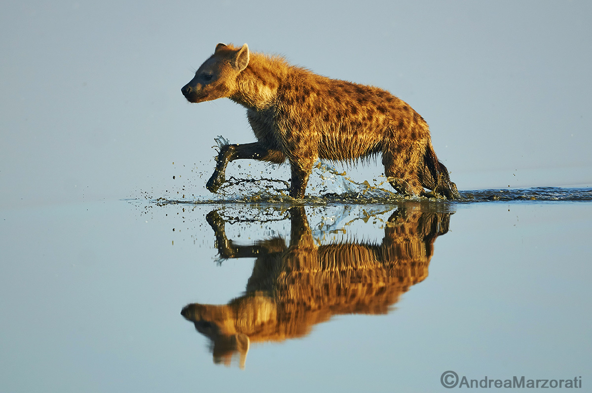Hyena in water...