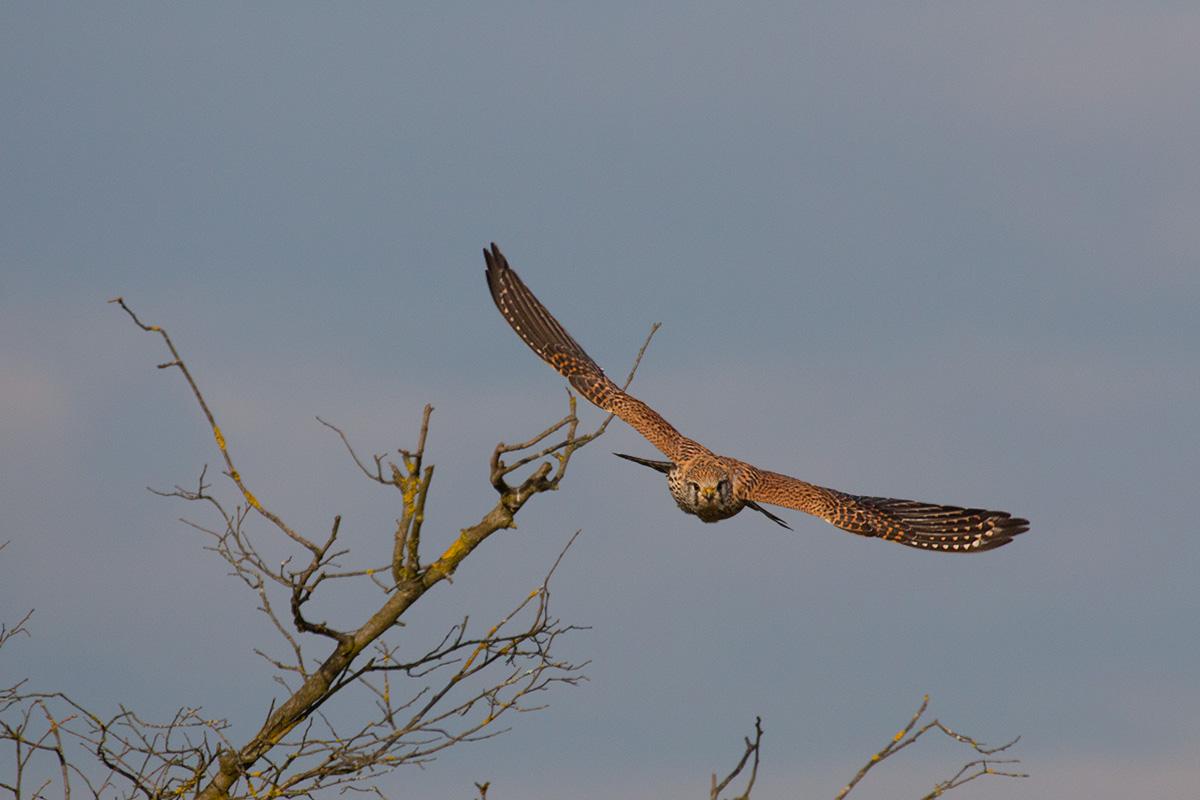 Kestrel / Kestrel (Falco tinnunculus)...