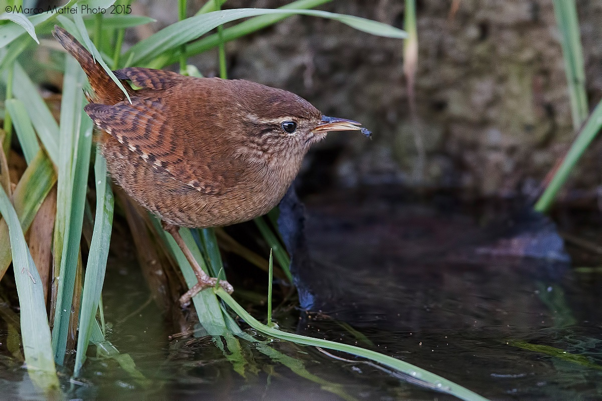 The wren and his prey...