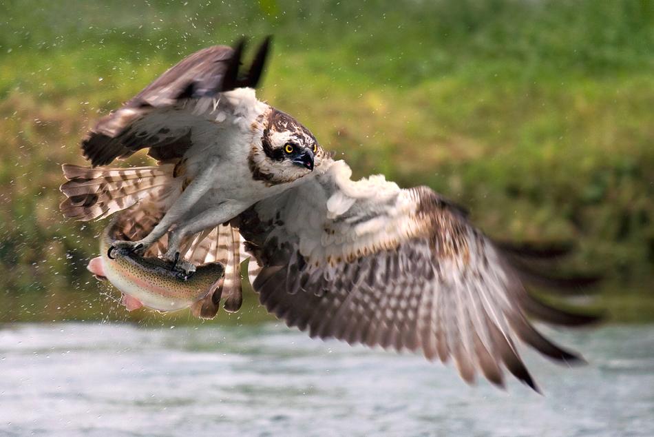 Falco pescatore 2...