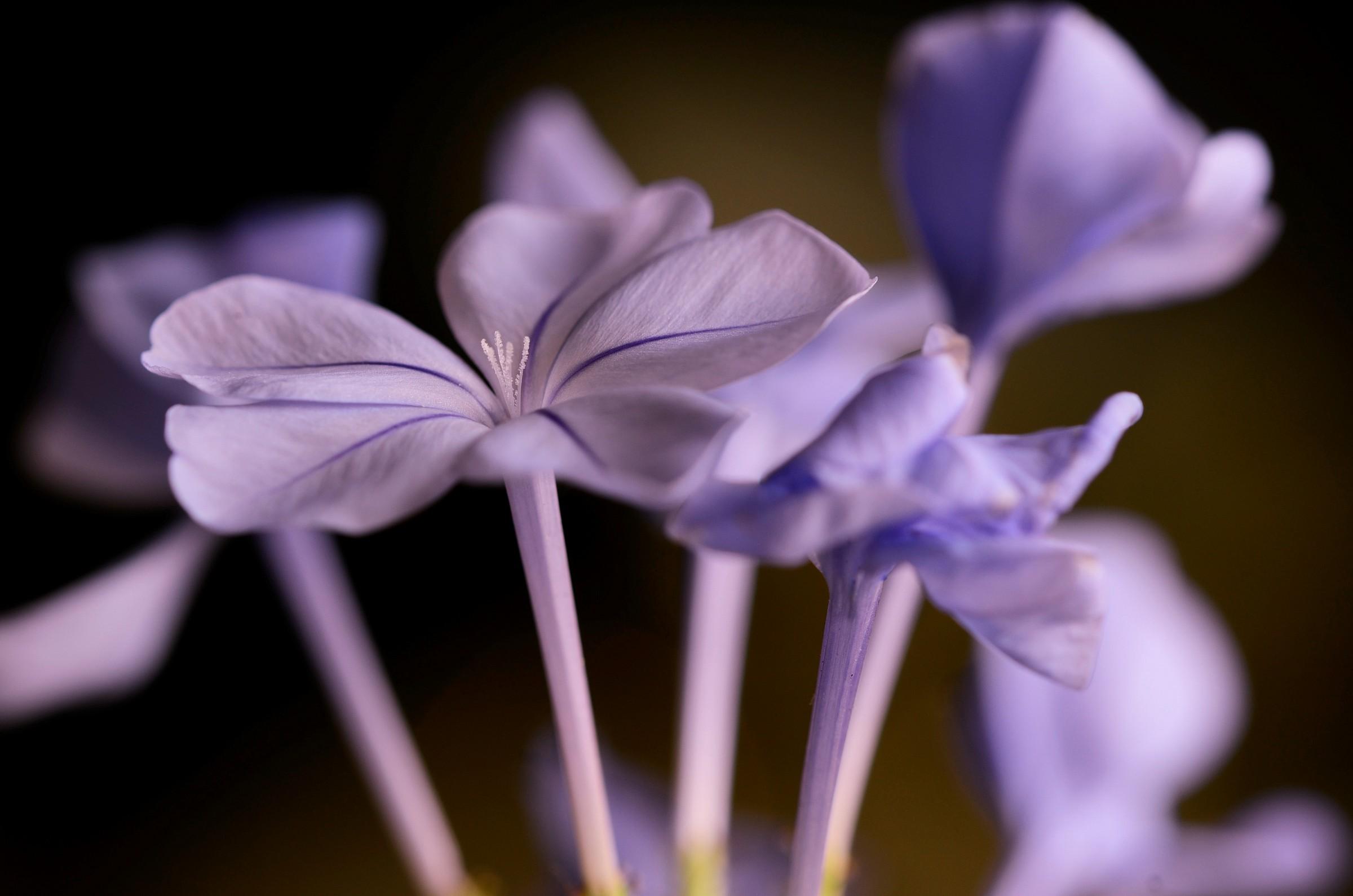 Plumbago flowers....