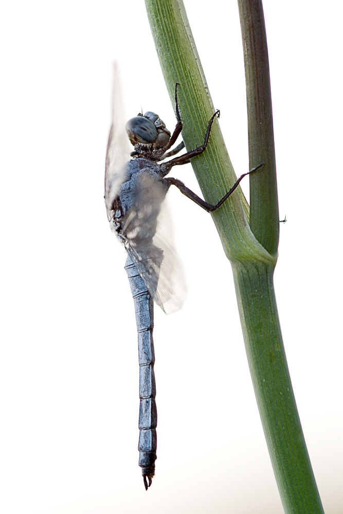 blue dragon fly...