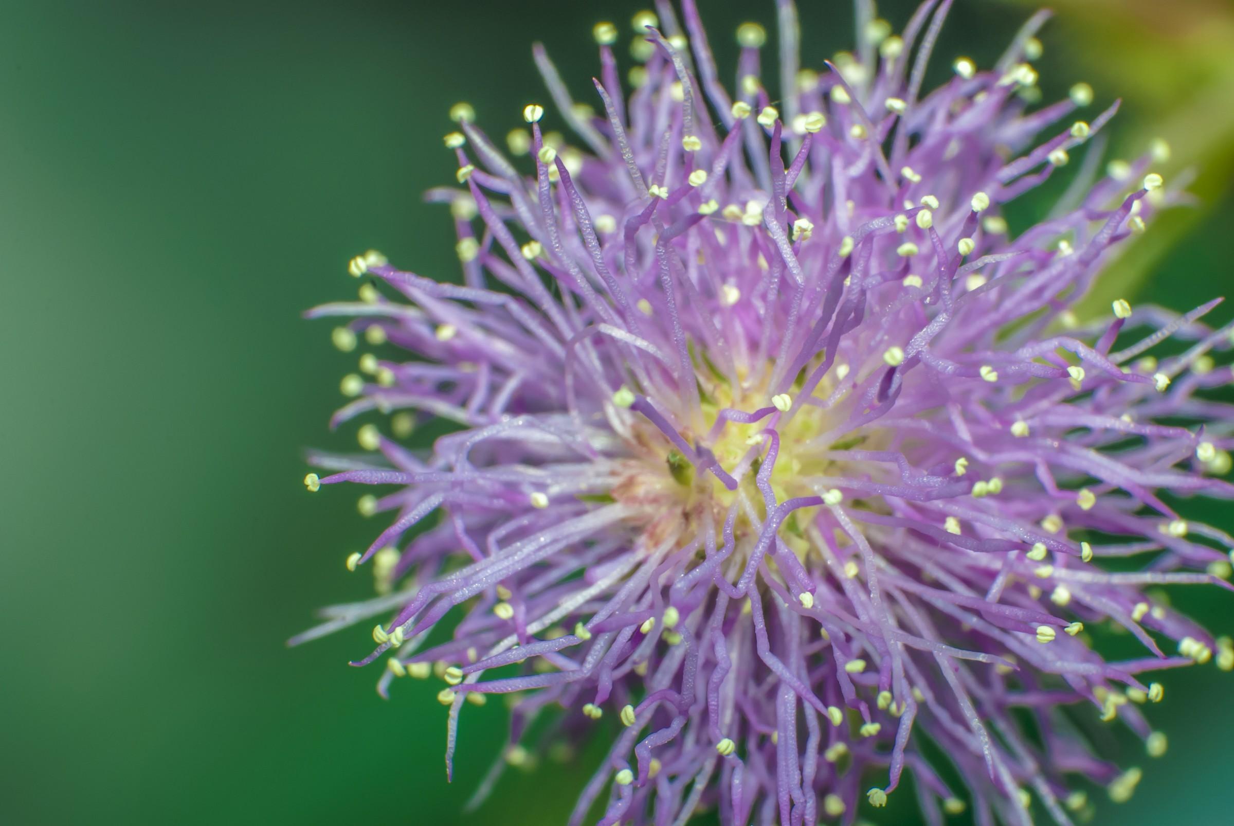 Fiore di Mimosa Pudica...