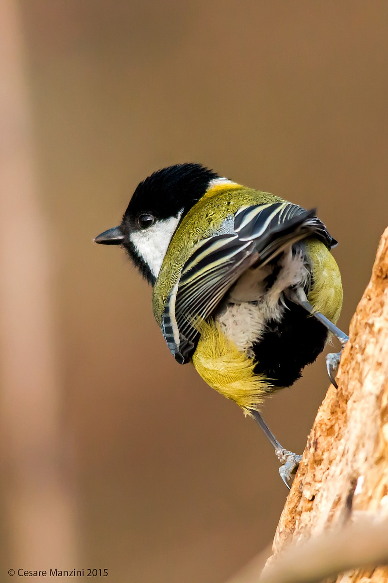 The B-side of the Great Tit...