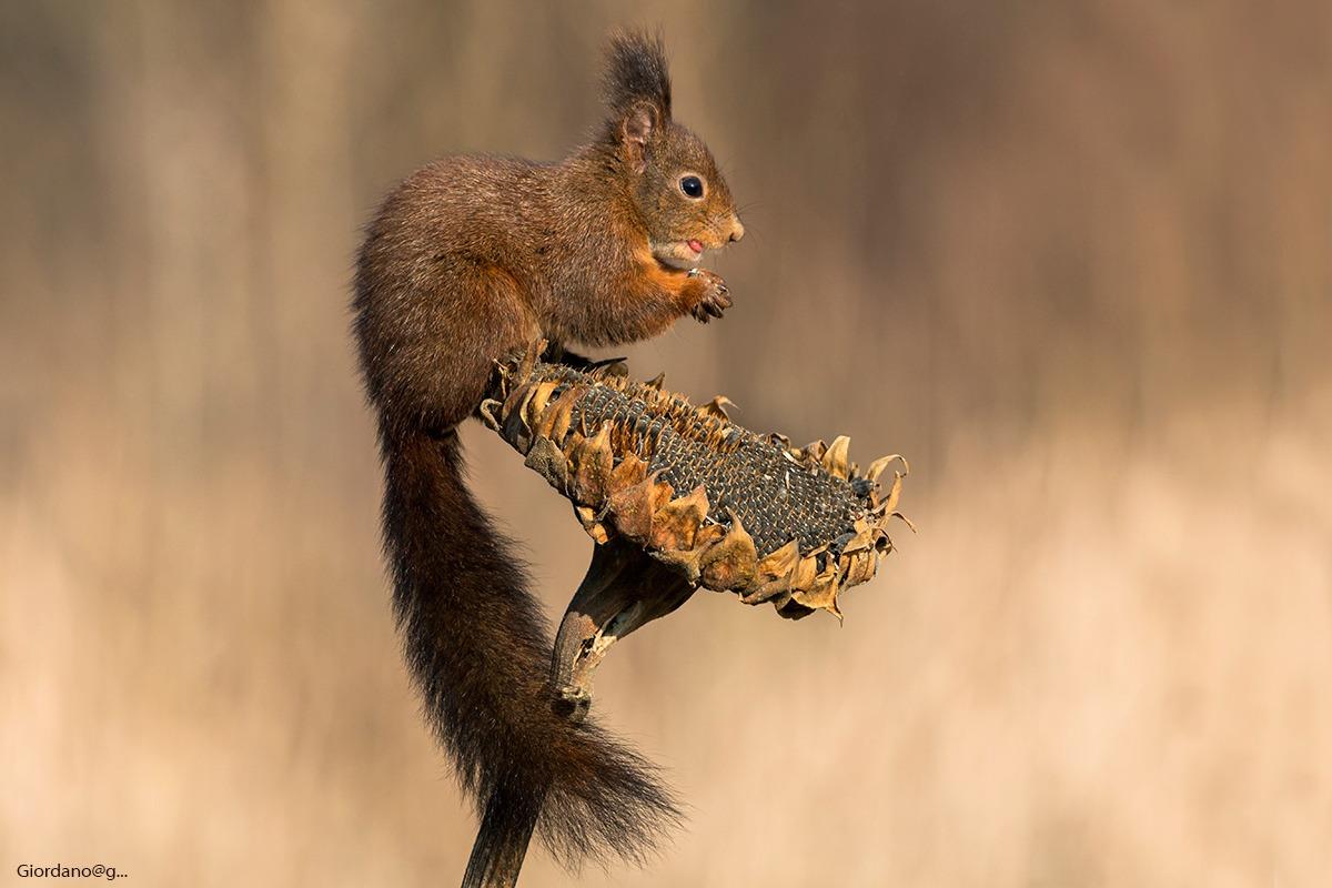 Squirrel ... on Sunflower...