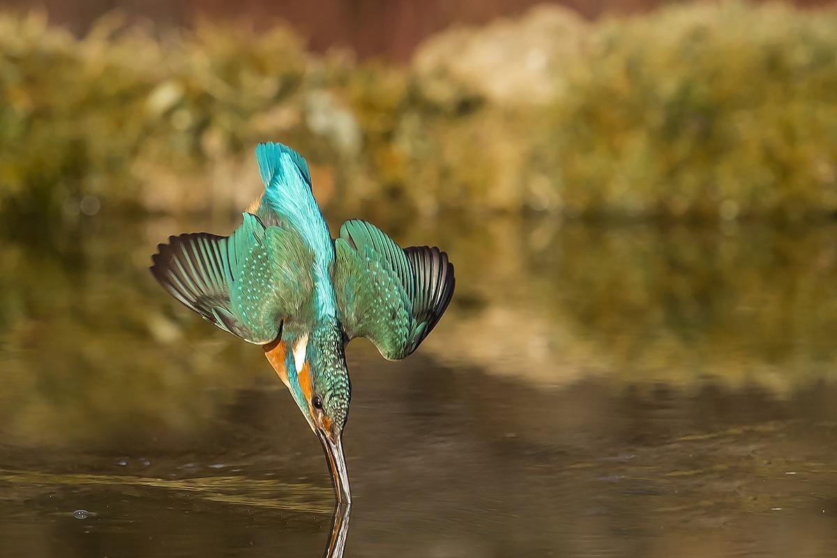 Картинки по запросу После 6 лет работы и 720,000 попыток, фотограф, наконец, снял идеальную фотографию зимородка