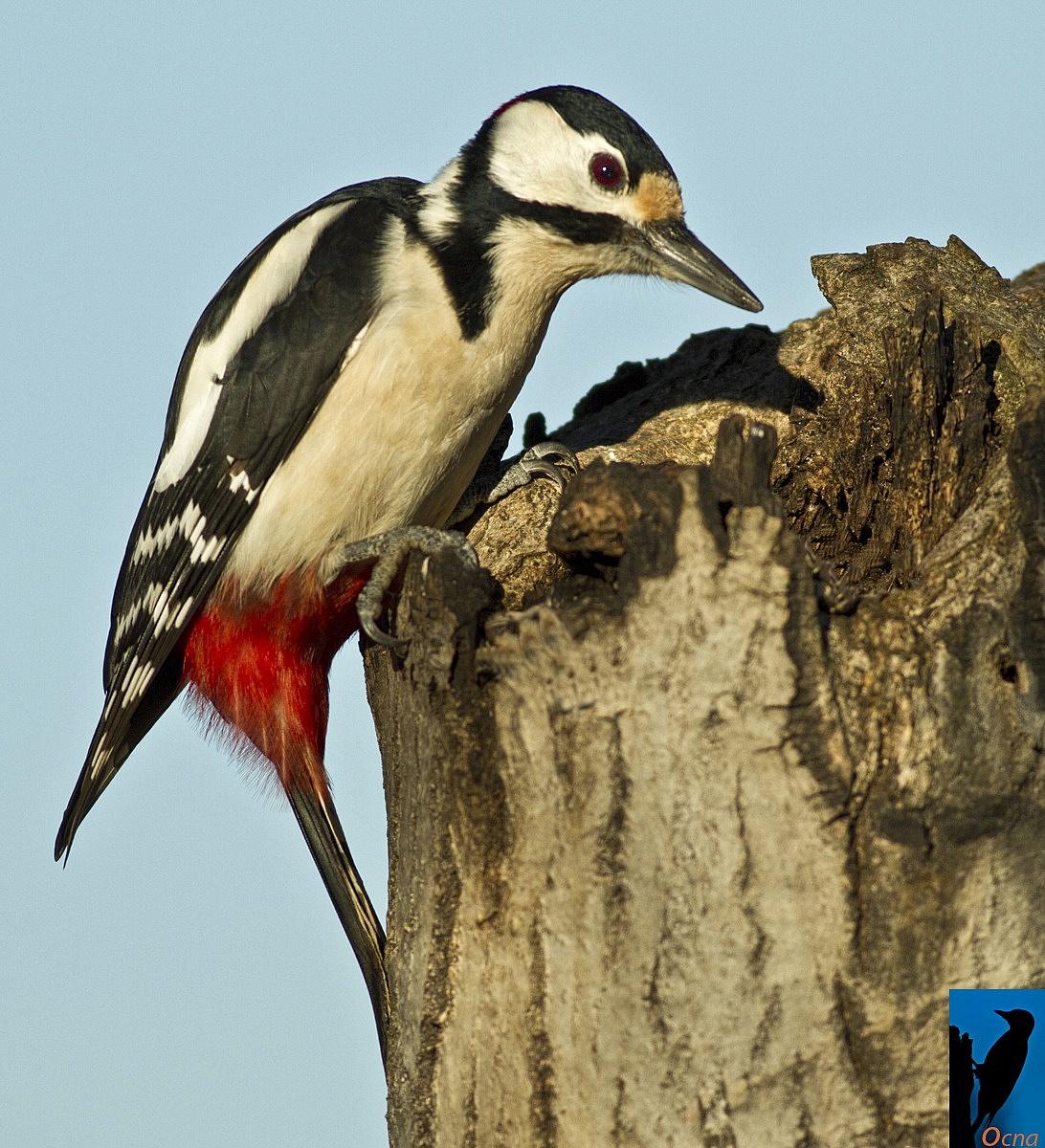 woodpecker magg...