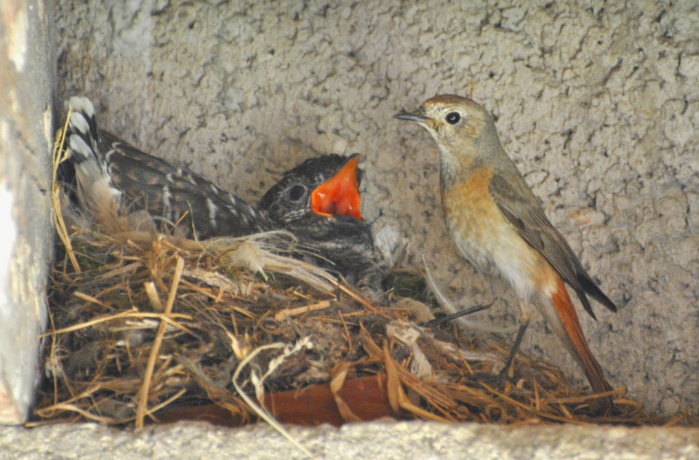 Cuckoo in the nest of the black redstart...