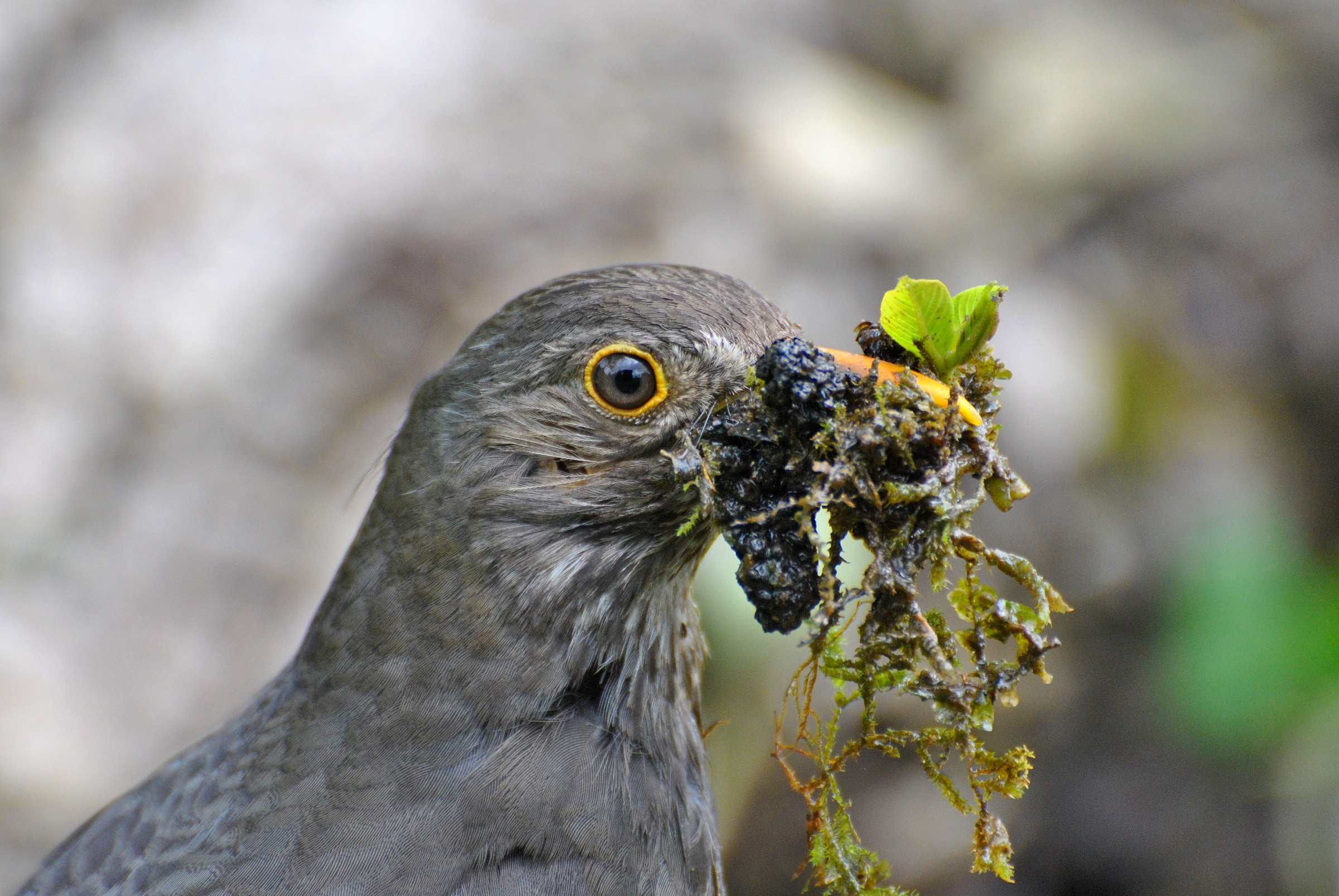 Blackbird female with material for nest building...