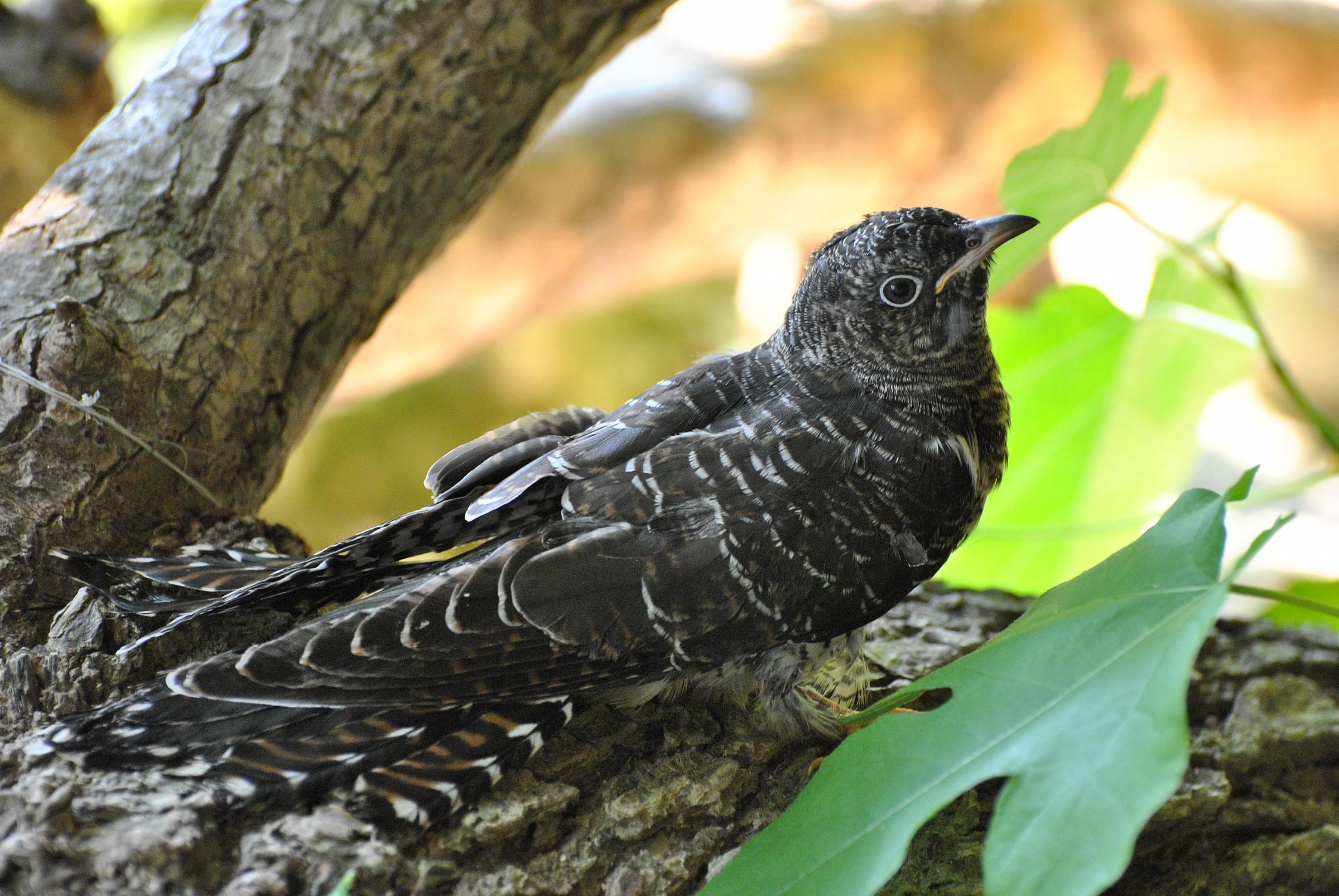 Young cuckoo...