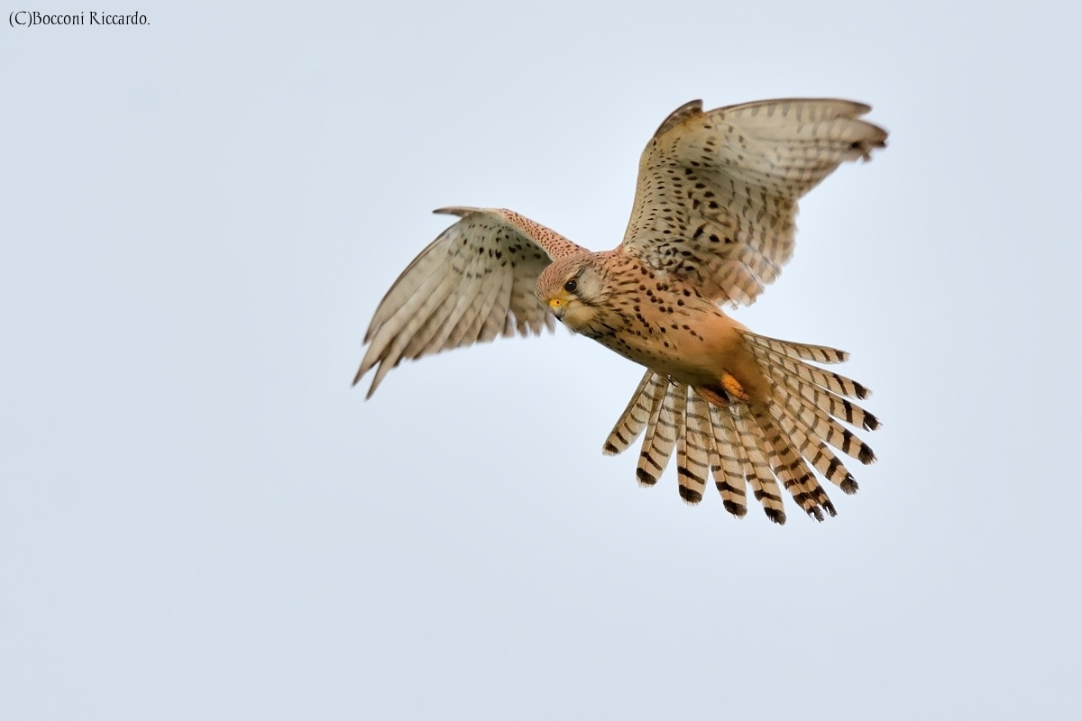 "Kestrel in ""Holy Spirit""...."