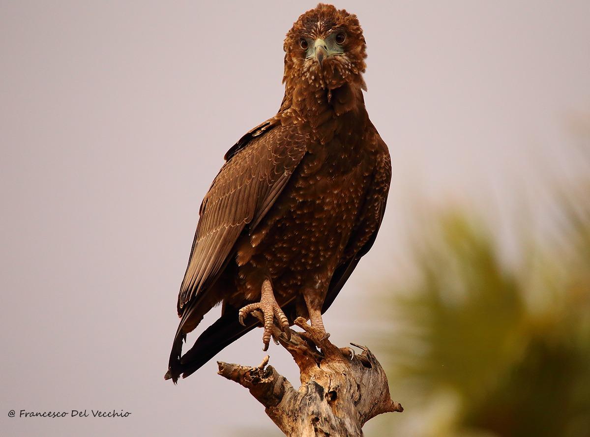 Juvenile Beteleur Eagle...