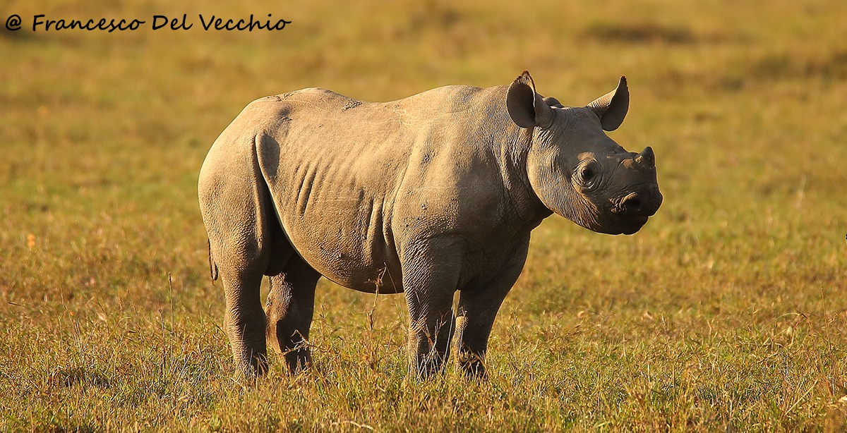 Young Black Rhino...