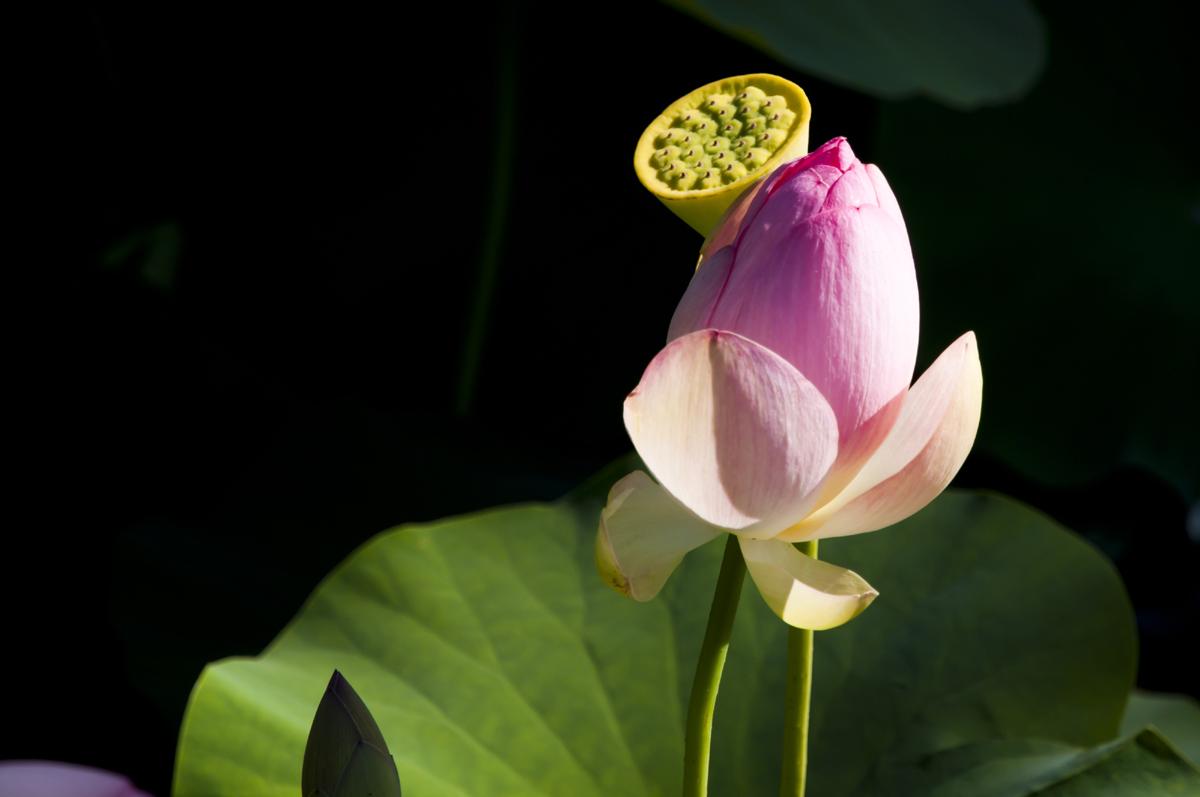 Flower in the pond in the park Beldi Oleggio...