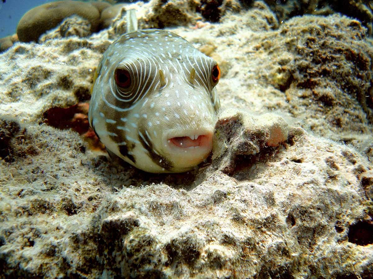 Foto subacquea by joeb juzaphoto for Pesce palla immagini