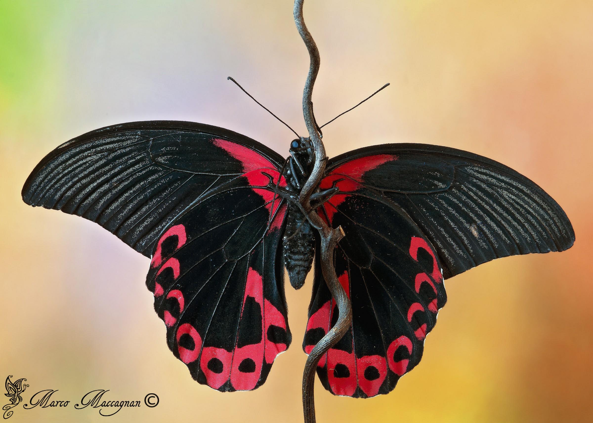 Papilio rumanzovia...