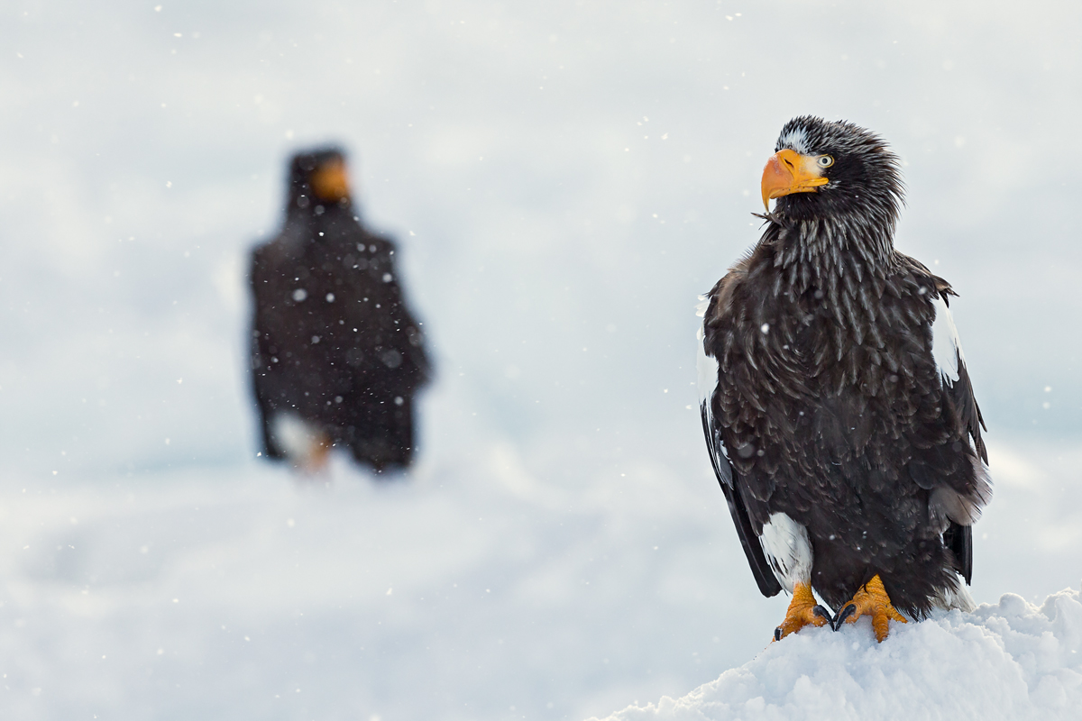 two eagles in a sea of ??ice...