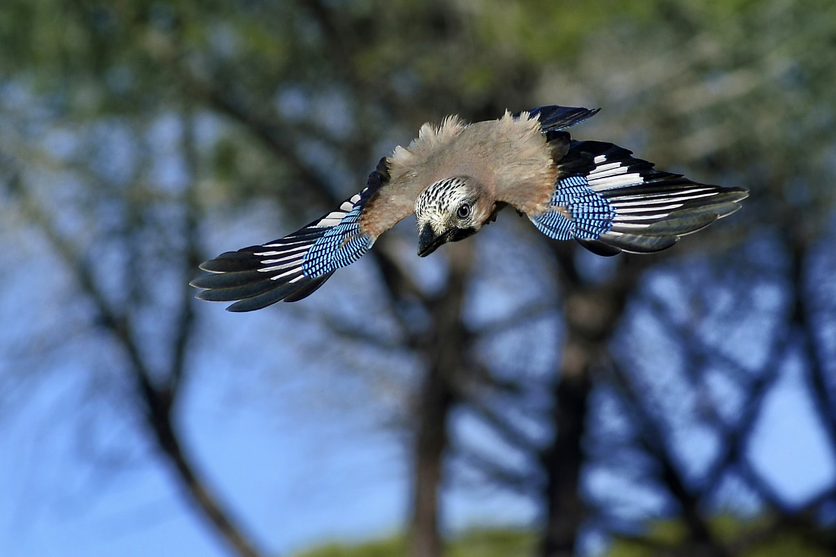 jay flying...