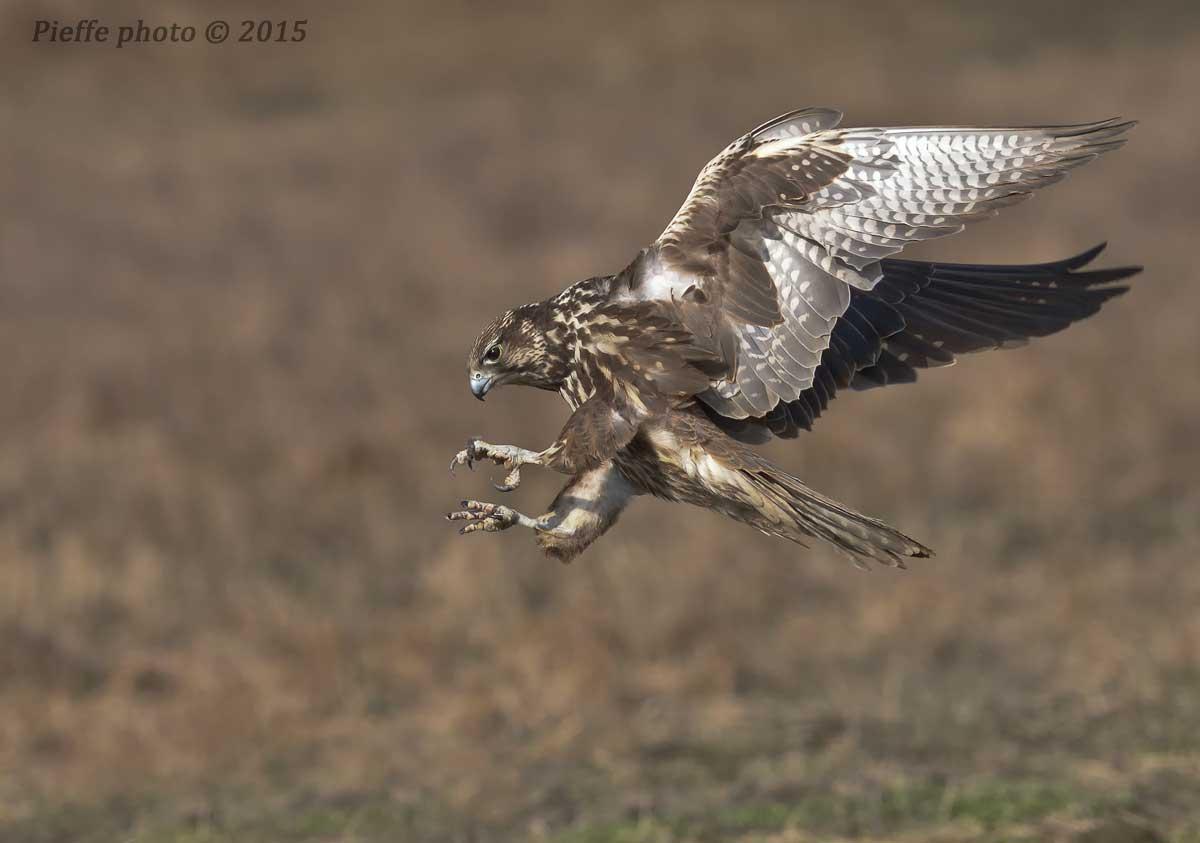Falco Sacred...