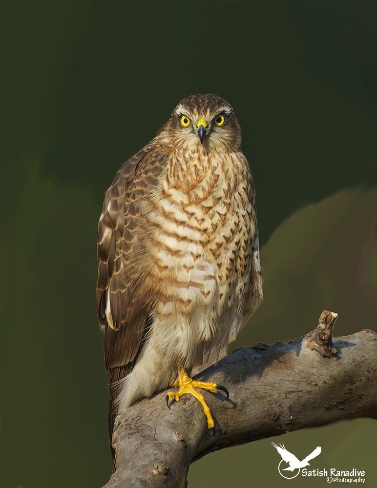 Eurasian Sparrowhawk, juvenile....