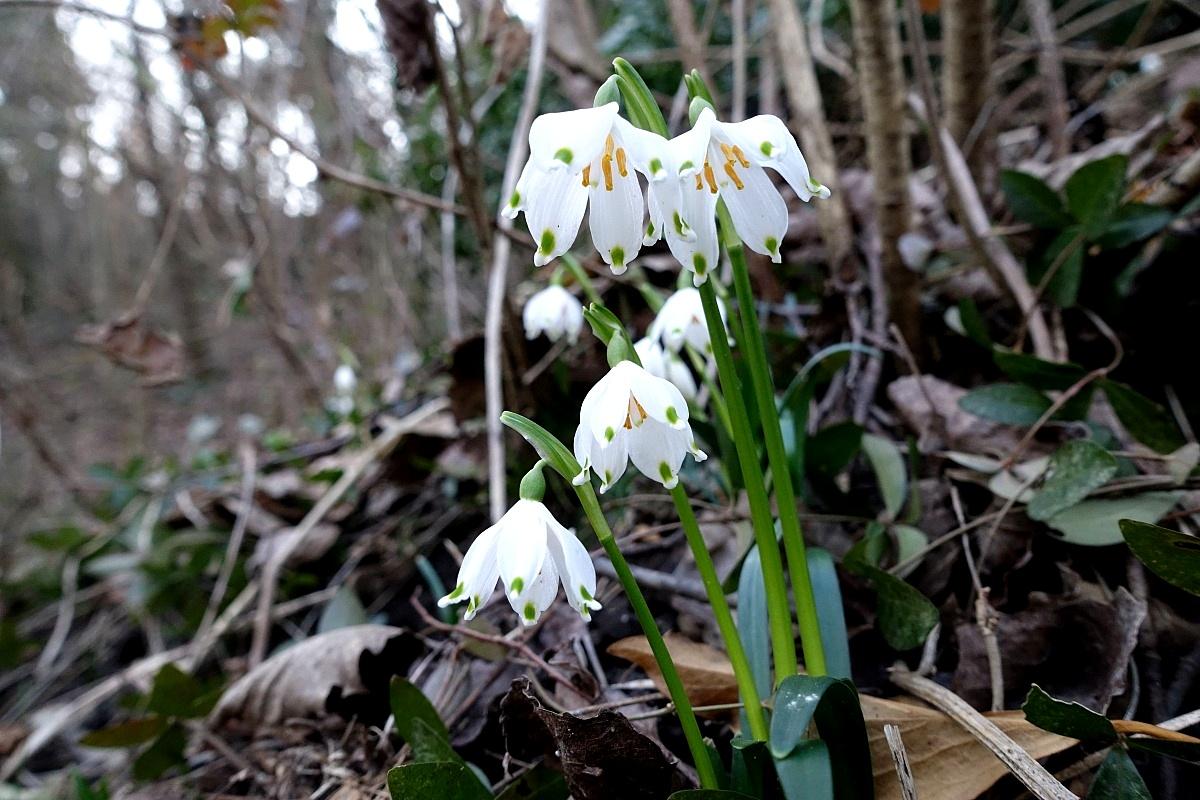 Campanellini di primavera (falsi bucaneve)...