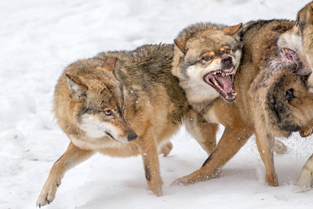 посту картинка бой волков способные