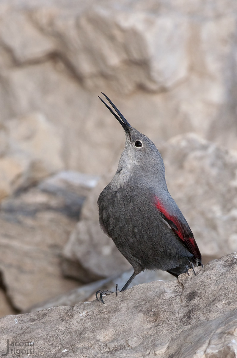 First floor Wallcreeper...