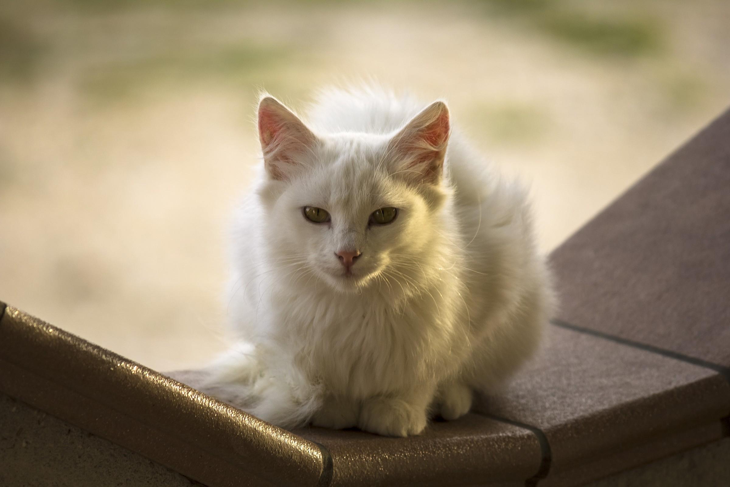 Miao...