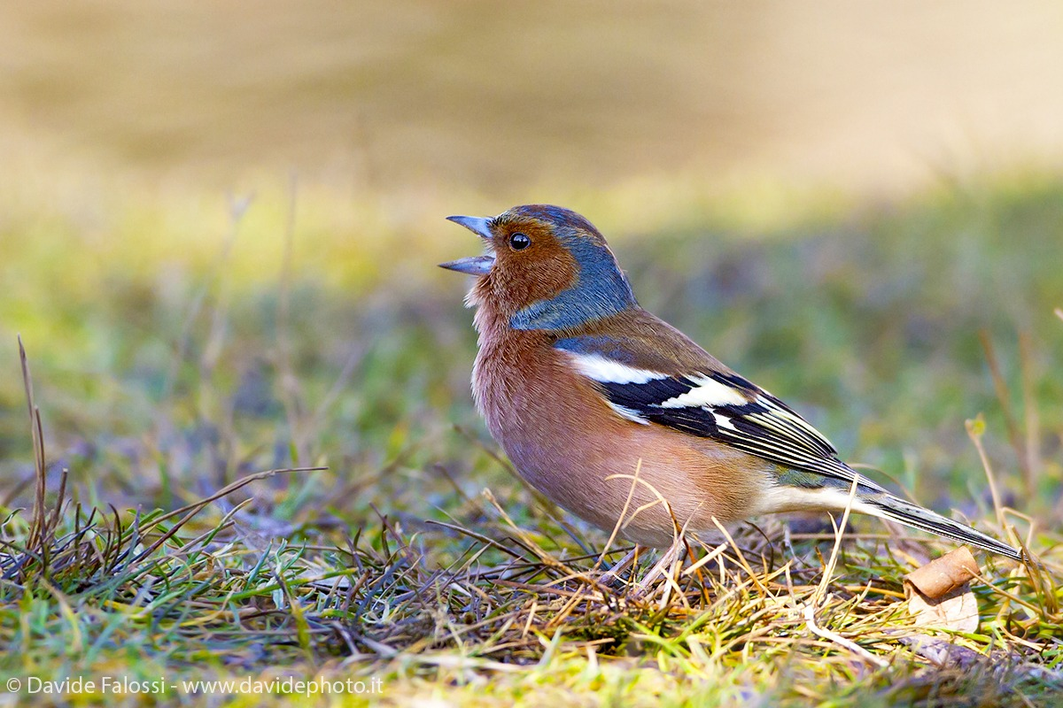 The song of Chaffinch...